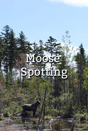 Moose Spotting in Maine