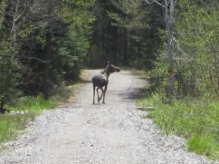 Moose on the ATV trail near Northern Outdoors Adventure Resort
