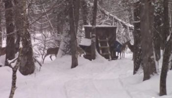 2012 Maine Whitetail Deer Harvest Up 13% - Means Good Hunting For 2013