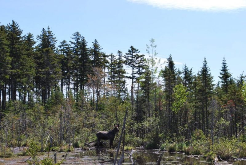Moose in a swamp in Maine