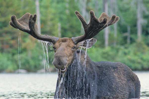Bull moose in the water - where to see moose in Maine